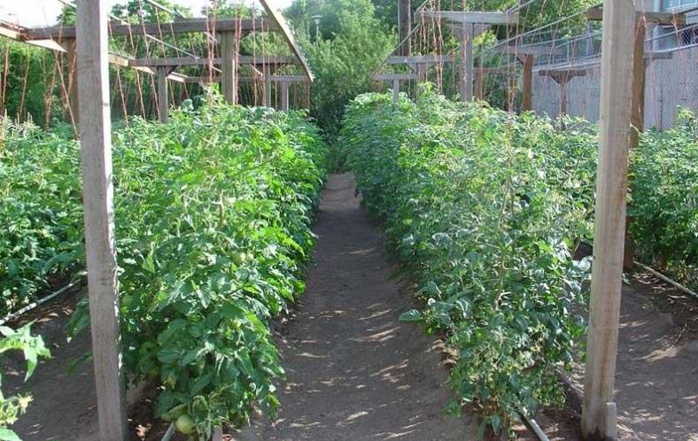 как да засадим