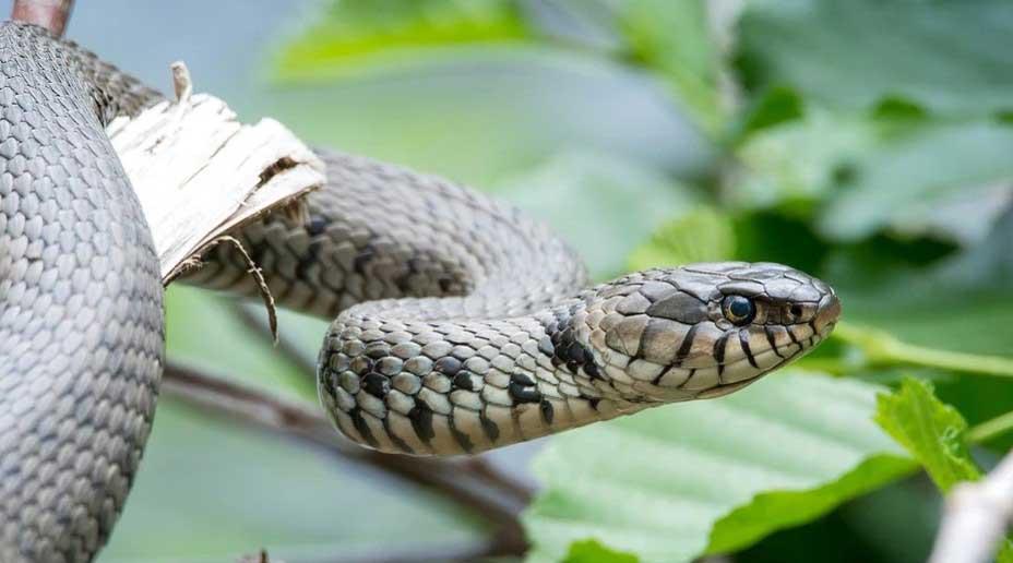 змията