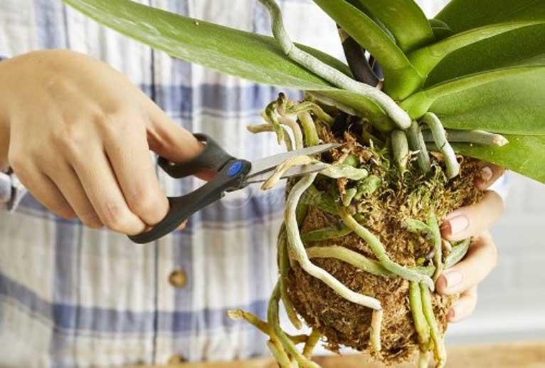 корените на орхидеята